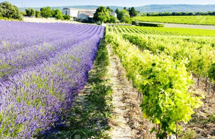 lavender-field-with-vineyard-Drome-Department-Rhone-Alpes-France-Stock-Photo.jpg
